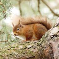 Red-squirrel-Granton-on-Spey-2020.jpg
