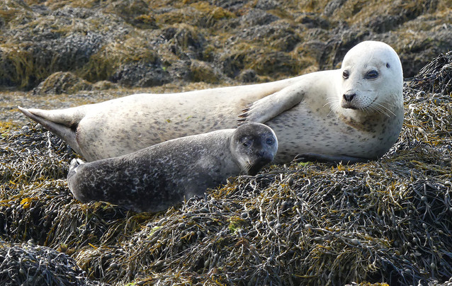 Common seals on Skye