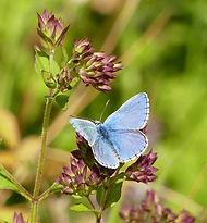 Adonis-Blue-.jpg