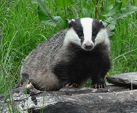 Badger,-Aigas,-Scotland.jpg