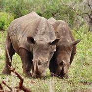 Hluhluwe-rhinos-South-Africa-.jpg