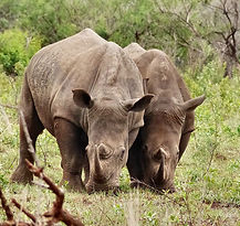 Hluhluwe-rhinos-South-Africa-.jpg