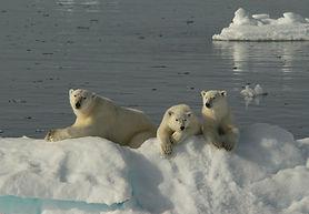 Svalbard-Polar-Bears-2007.jpg