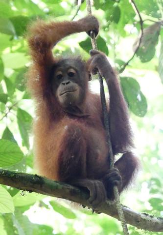 Young orang utan (wild)