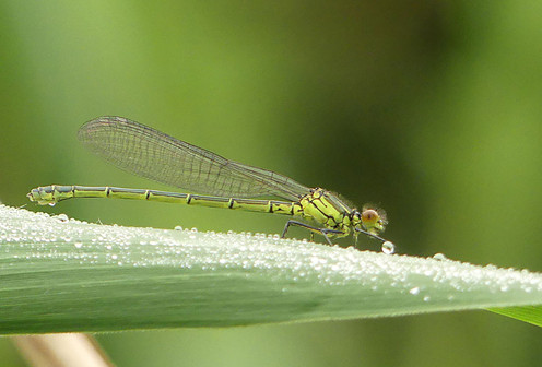 Damselfly drinking