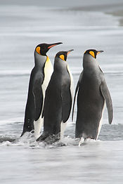 King-Penguins,-South-Georgia-.jpg
