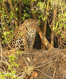 Jaguar-Pantanal,-Brazil.jpg