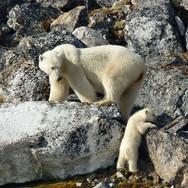 Mother-and-Cub-rock-climbing-Svalbard.jp