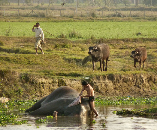 Washing elelphants in Nepal