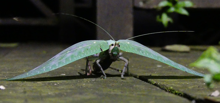 Amazing leaf bug, Borneo