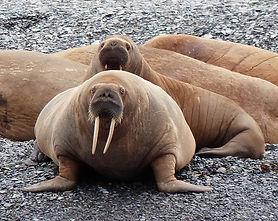Baffin-Walrus-family.jpg