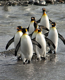King-Penguins,-S-Georgia.jpg