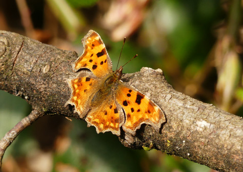 Comma Butterfly Downs April 18 2021.JPG