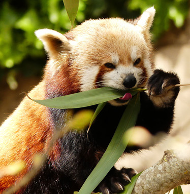 Red panda, Bristol Zoo