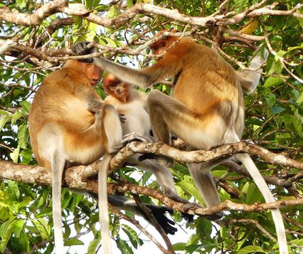 Proboscis Monkey family Kitabatangan River, Borneov