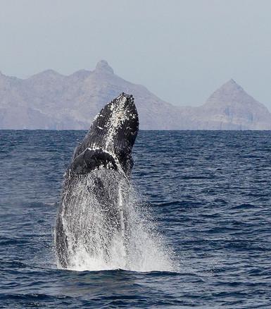 Breaching Humpback; Baja