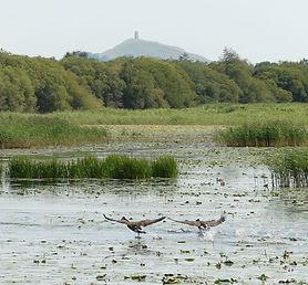 Canada-Geese--Shapwick-Heath.jpg