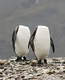 Headless-Penguins-South-Georgia-.jpg