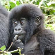 Mountain-Gorilla-youngster-Rwanda--.jpg