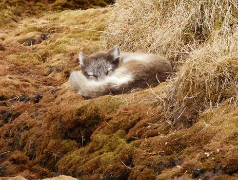 Arctic-Fox-.jpg