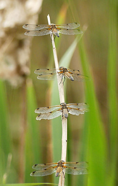 Four by four spotted chaser