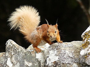 Plenty of Red Squirrels at Aigas!
