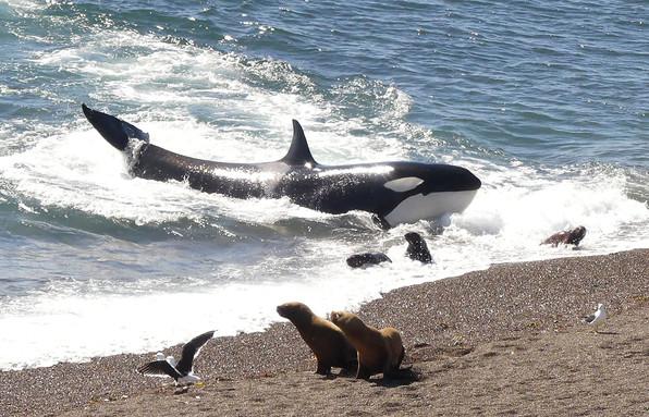 Orca Attack, Patagonia