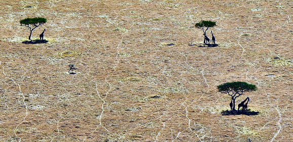 Giraffe from a Plane in the Serengeti