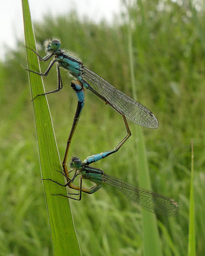 Damselflies-mating-.jpg