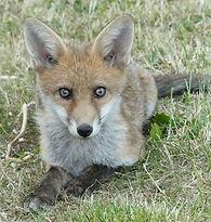 Fox-Cub-Bristol-June-2020.jpg