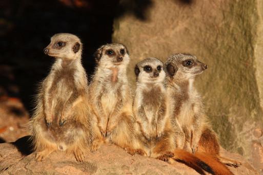 Bristol Zoo meercats