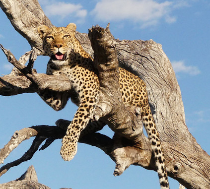 Selinda leopard