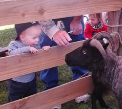 Viking Sheep