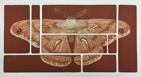 moth 4 Cecropia (Aquatint).jpg