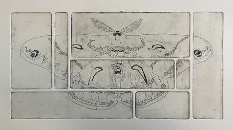 moth 3 Cecropia (Etching).jpg