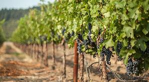 Fj-Vineyards-Hero1095x600.jpg