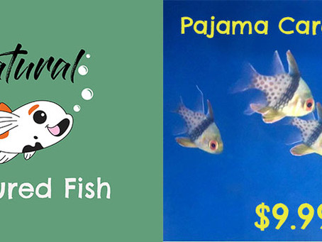 Featured Fish - Pajama Cardinalfish