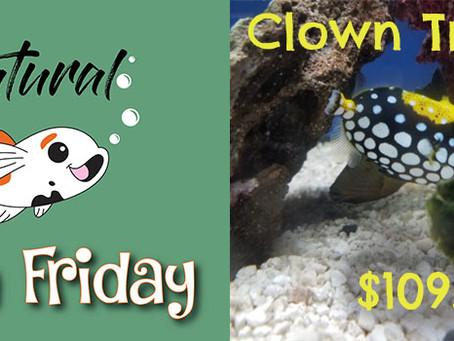 Natural Fish Friday - Clown Trigger