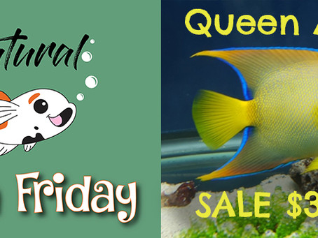 Natural Fish Friday - Queen Angelfish