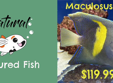 Featured Fish - Maculosus Angel