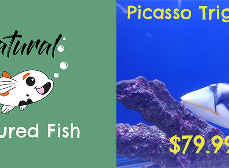 Fish Feature - Picasso Triggerfish