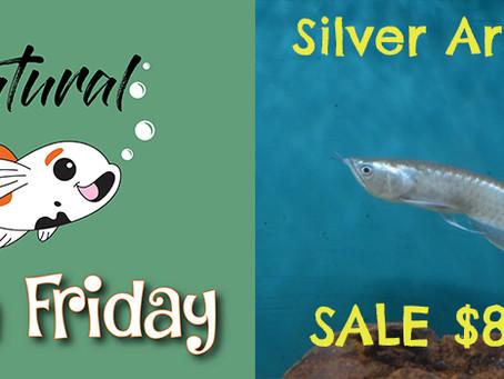 Natural Fish Friday - Silver Arowana