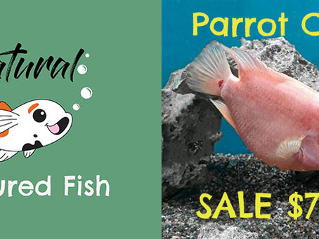 Natural Fish Feature - Parrot Cichlid