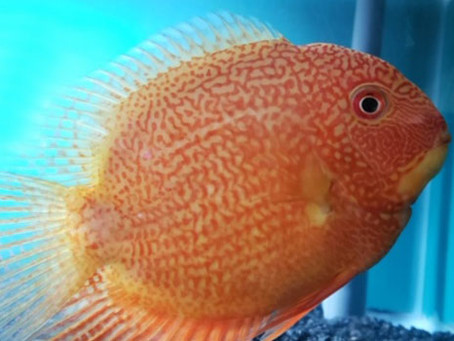 Go BIG with a Red Spotted Severum