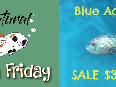 Natural Fish Friday - Blue Acara