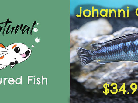 Natural Fish Feature - Johanni Cichlid