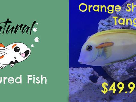 Natural Fish Feature - Orange Shoulder Tang
