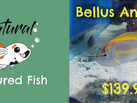 Natural Fish Feature - Bellus Angelfish