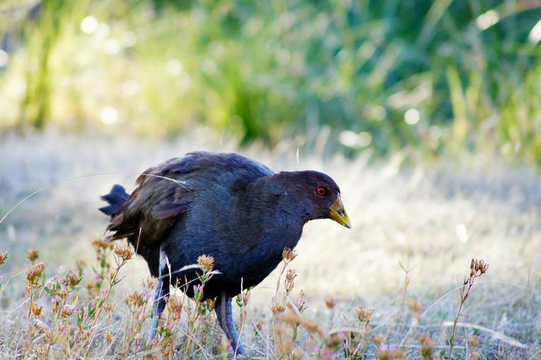 Native Hen.JPG