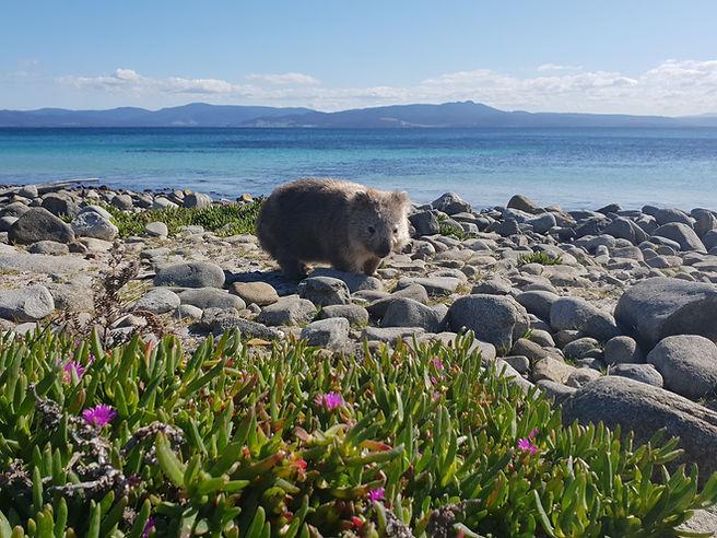 Maria Island Wombat Tour